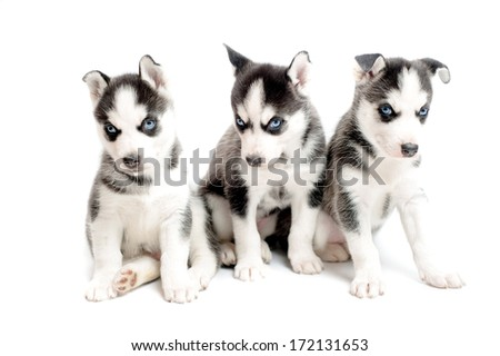 three purebred siberian husky puppies isolated on white - stock photo