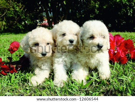 Three purebreed french poodle puppies - stock photo