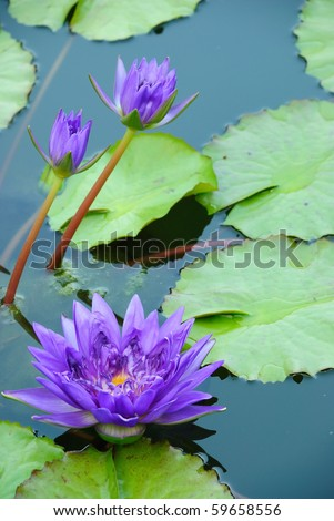 Three Purple Water Lily  and Green Leaves - stock photo