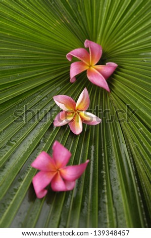 Three red and pink frangipani flowers and palm leaf texture - stock photo