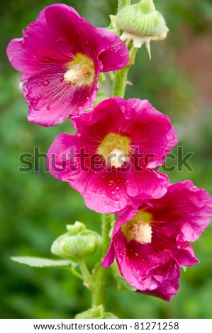 three red blooms of alcea rosea - stock photo