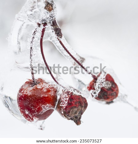 Three red crab apples on branch frozen with ice in winter, close up, square format - stock photo