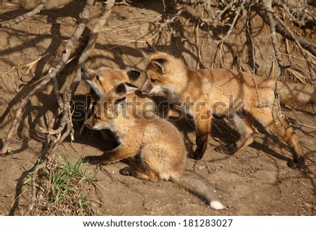 Three Red Fox pups at den - stock photo