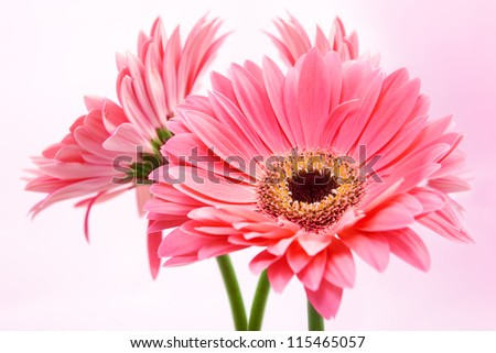 Three red Gerber flowers on pink background. - stock photo