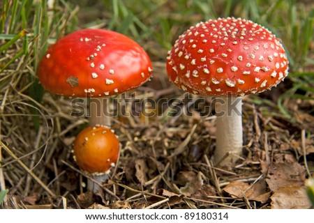 Three red mushrooms fungi, Fly Agaric, latin name is Amanita muscaria - stock photo