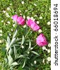 Three red peonies on the green grass background - stock photo