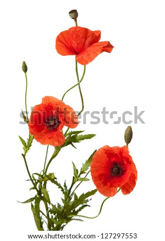 three red poppies isolated on white - stock photo