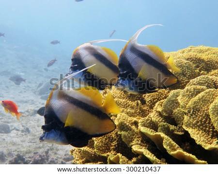 Three Red Sea bannerfish and yellow salad coral - stock photo