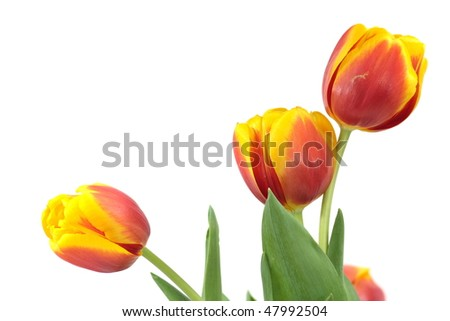 Three red-yellow tulips isolated on white - stock photo