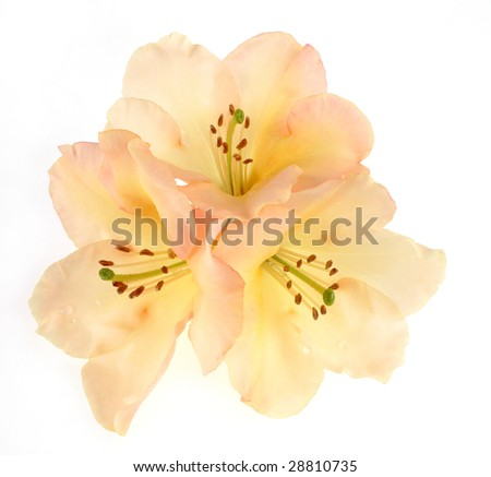 three rhododendron flowers - stock photo