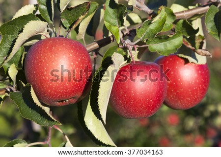 three ripe red apples on branch of apple tree in sunlight - stock photo