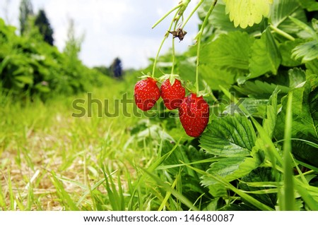 Three ripe strawberries on a strawberry field in summer.  - stock photo