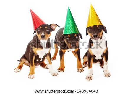 Three Rottweiler mixed breed puppies wearing colorful birthday party hats - stock photo