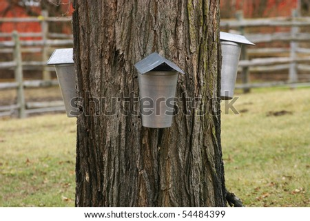 Three  sap buckets hung and tapped into old maple tree ready for the sap to run in them so that it can be boiled down to yummy maple syrup. - stock photo