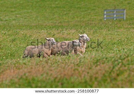 Three Sheep (Ovis aries) Run Right through Pasture with Fence in background - stock photo