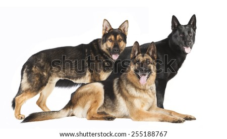 three shepherds in different colors against white background - stock photo