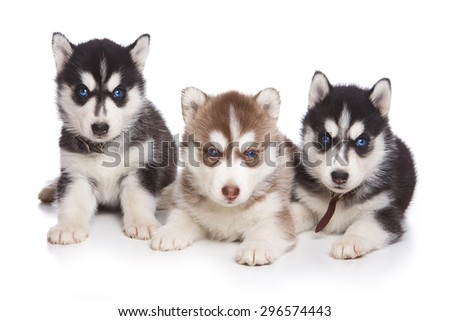Three Siberian husky puppy sitting and looking at the camera (isolated on white) - stock photo