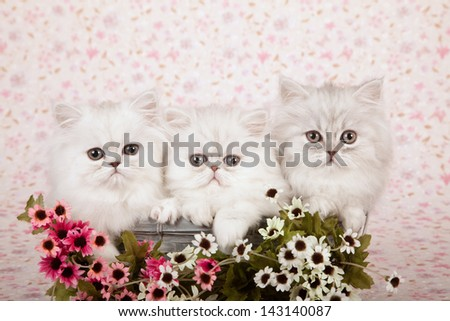 Three Silver Chinchilla Persian kittens sitting in blue basket with pink and white small flowers on floral background - stock photo