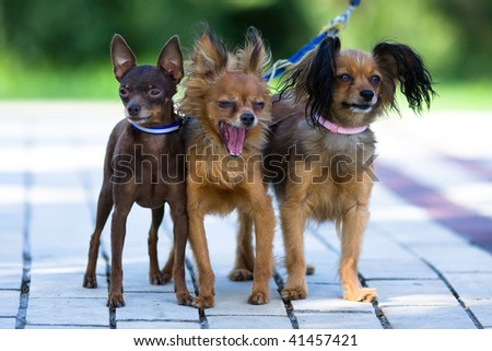 three small dogs on one leash - stock photo