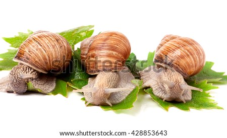 Three snail crawling on the grape leaves white background - stock photo