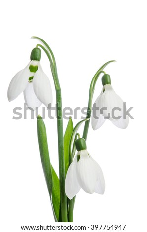 Three snowdrop flowers isolated on white background - stock photo