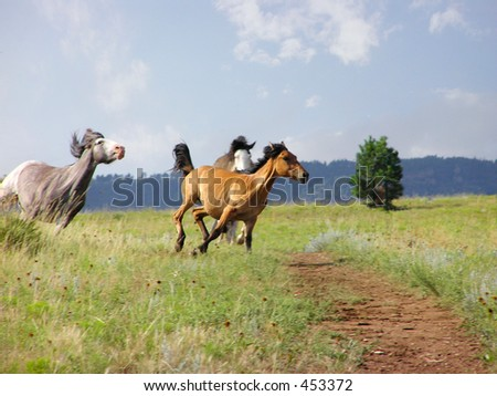 Three Spanish Mustangs in Gallop - stock photo