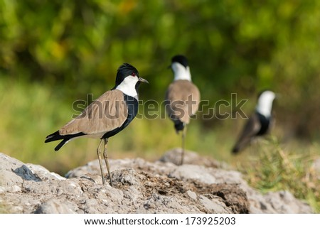 Three Spur-Winged Plovers (Vanellus Spinosus) standing on hard-packed mud - stock photo