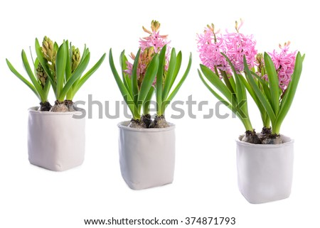Three stages of growth of a hyacinth flower. Isolated on white background. - stock photo