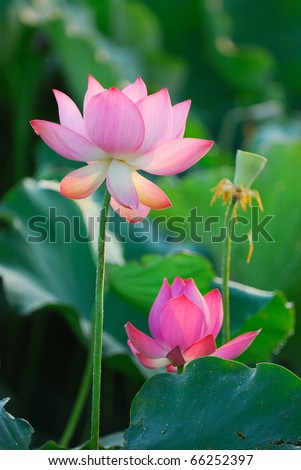 Three stages of the Lotus from birth to death - stock photo