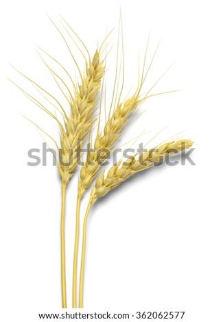 Three Stocks of Wheat Isolated on White Background. - stock photo