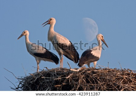 Three storks against Moon. White stork (Ciconia ciconia). - stock photo