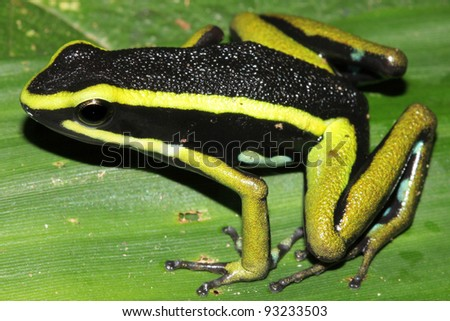 Three-striped Poison Dart Frog (Ameerega trivittata) in the Peruvian Amazon Isolated with space for text - stock photo