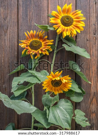 Three sunflowers growing against rustic wooden plank wall - stock photo