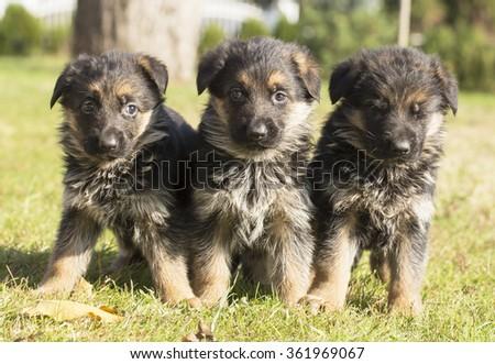 three sweet german shepherd puppy in grass - stock photo