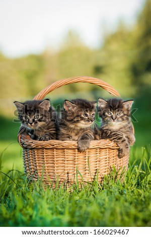 Three tabby kittens sitting in the basket - stock photo