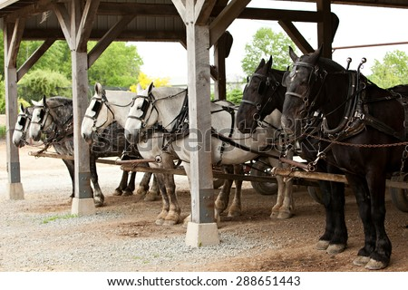 Three teams of horses hitched to wagons and ready to work. - stock photo