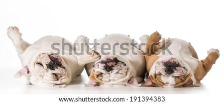 three tired english bulldogs laying on their backs - stock photo