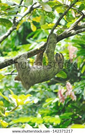 Three-toed Sloth (Bradypus variegatus) in Costa Rica rainforest - stock photo
