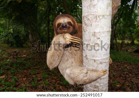 Three-toed sloth climbing on tree trunk, Panama, Central America - stock photo