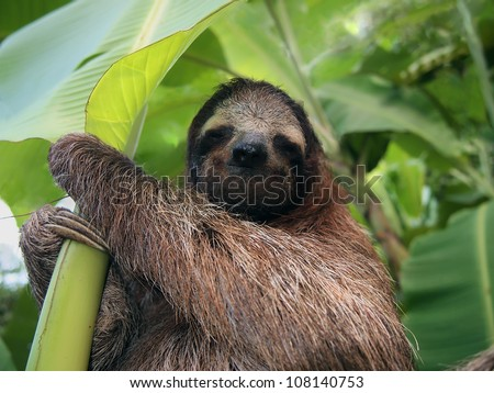 Three-toed sloth in a banana tree, Costa Rica, Central America - stock photo