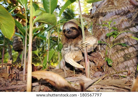 Three-toed sloth on the ground, Costa Rica, Central America - stock photo