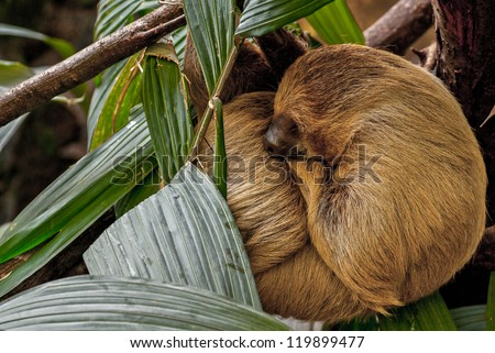 Three-toed sloth sleeping in leafs - stock photo