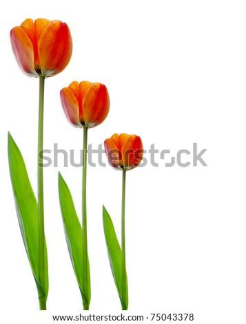 Three Tulip Stems Isolated on White - stock photo