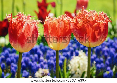 Three Tulips in front of Blue Flowers - stock photo