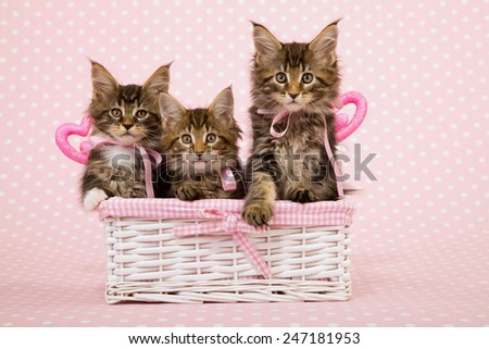 Three Valentine Maine Coon kittens sitting inside white basket with ornamental pink hearts on pink background  - stock photo