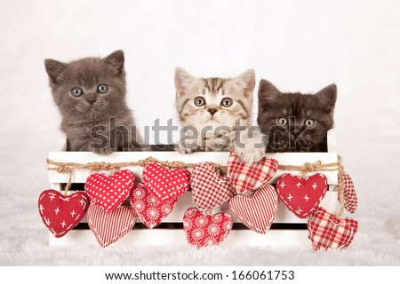 Three Valentine theme kittens sitting inside white wooden box with red ornamental fabric hearts on white fake fur background - stock photo