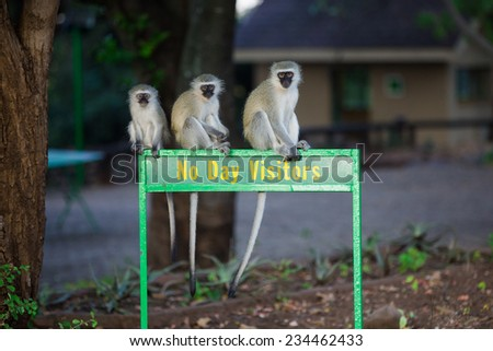 Three vervet monkeys, Chlorocebus pygerythrus, sitting on a 'No Day Visitors' sign outside a rest camp in the Kruger National Park, South Africa. - stock photo