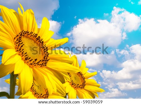 Three very beautiful sunflowers against blue sky with clouds - stock photo