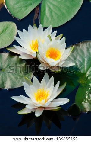 Three water lilys in a pond - stock photo
