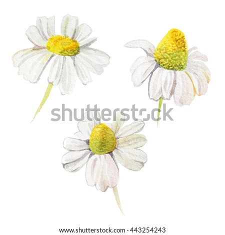 Three watercolor daisies on white background. - stock photo